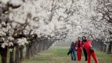 #(3)CHINA-ANHUI-PEAR BLOSSOM (CN)