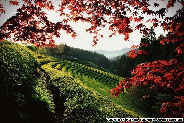 green_tea_farm_resize