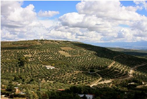 Những lùm cây ô liu bao phủ cả ngọn đồi