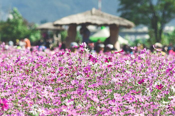 Lễ hội hoa cosmos mang nét đặc trưng mùa thu của Suwon